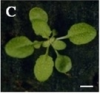 Comparison of wild-type and eve1-D plants at various developmental stages. (A–F) Phenotypes of 5-day-old wild-type (A) and eve1-D mutant (D) plants, 10-day-old wild-type (B) and eve1-D mutant (E) plants, and 15-day-old wild-type (C) and eve1-D mutant (F) plants. (G) A 25-day-old wild-type plant. (H) A 40-day-old wild-type plant. (I) A 25-day-old eve1-D plant. (J) A 40-day-old eve1-D plant. Bars=100mm in A–J.