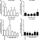Effect of local HO-2 knockdown on injury induced HO-1 mRNA expression and on HO-2 mRNA expression. Corneal HO-1 mRNA levels in A: control shRNA and B: HO-2-shRNA-treated corneas 1, 2, 3, 4, and 7 days post epithelial debridement (*p<0.05; **p<0.01 from corresponding uninjured corneas, n=5�7). Corneal HO-2 mRNA levels in C: control shRNA and D: HO-2-shRHA-treated corneas in uninjured corneas, and 1, 2, 3, 4, and 7 days post epithelial debridement (*p<0.05; **p<0.01; ***p<0.001 from control shRNA-treated uninjured corneas, n=5�10).