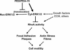 Schematic representation of PED/PEA-15 effect on cytoskeletal organization and cell motility. Many growth factors, extracellular matrix proteins, and other extracellular signals induce ERK1/2 activation and translocation from cytosol (Cyt-ERK1/2) to nucleus (Nuc-ERK1/2), as well as RhoA activity and cytoskeletal rearrangements allowing cellular motility. When PED/PEA-15 is hyper-expressed, it binds ERK1/2 and prevents nuclear translocation, thereby causing accumulation into the cytosol. This is paralleled by a decrease of RhoA activity, which most likely affects the formation of FAPs and stress fibers. In cells overexpressing PED/PEA-15, biochemical and morphological changes are also accompanied by an overall reduced cellular motility.