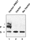 Assay of PNGase activity in an E. coli cell-free extract. The E. coli strain used was BL21(DE3)pLysS. Shown is a paper chromatogram of the reaction product formed after 10 min of incubation of the E. coli extract with labeled substrate. (lane 1) E. coli extract with pET-28b-PNG1; (lane 2) E. coli extract with pET-28b (control vector); and (lane 3) E. coli extract without vector. The extra minor band indicated with an asterisk was confirmed to be [14C]Leu-Asp by analysis by paper electrophoresis, as described earlier (Kitajima, et al. 1995), and may be derived from a contaminating protease activity in the E. coli extract. In fact, this degradation product represents a fraction of the product of PNGase activity because the second amino acid in the substrate was converted into Asp instead of remaining as Asn. P, de-N-glycosylated product ([14C]-Leu-Asp-Asn-Ser-Arg); and S, substrate ([14C]-Leu-Asn(Glc NAc5Man3Gal3)-Asn-Ser-Arg). For details, see Materials and Methods.
