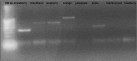 Amplification profile of some DNA samples extracted from �home-made� fruit juices observed with EMFxaANS primers.