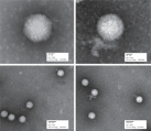 Transmission electron micrographs of adenovirus (top left), ND0/100HMW polymer-modified adenovirus at high and low resolution (top right and bottom plates, respectively).