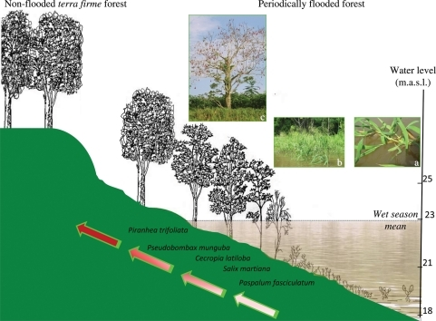 Plant succession and propagation strategies in várzea floodplains. In terms of reproductive strategies, from the open waters towards the uppermost parts of the topographic gradient, there is an increase in sexual reproduction (represented by the colour intensity of the arrow) and dependence on dispersion mechanisms associated with long-lasting propagules such as dormant seeds.