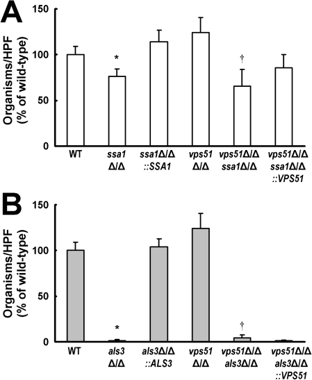Deletion of SSA1 or ALS3 reduces HBMEC endocytosis of C. albicans.(A and B) Endocytosis of the indicated strains of C. albicans by HBMECs. The results are expressed as a percentage of the wild-type strain and are the mean ± SD of 3 experiments, each performed in triplicate. A mean 65 of wild-type cells per HPF was endocytosed by the HBMECs. *p<0.01 compared to the wild-type strain; �p<0.01 compared to the vps51�/� mutant.