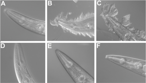 bah-1 worms are resistant to biofilm attachment.(A�C) Wild-type C. elegans exposed to (A) E. coli, (B) Y. pestis, and (C) Y. pseudotuberculosis. (D�F) bah-1 worms exposed to (D) E. coli, (E) Y. pestis, and (F) Y. pseudotuberculosis.
