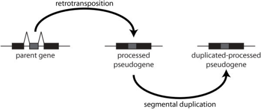 Aetiology of a duplicated-processed pseudogene. Alternative aetiology of a processed pseudogene. A parent gene is first retrotransposed into a processed pseudogene. Then the processed pseudogene undergoes segmental duplication to produce a duplicated-processed pseudogene.