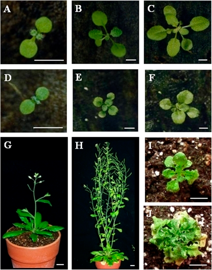 Comparison of wild-type and eve1-D plants at various developmental stages. (A�F) Phenotypes of 5-day-old wild-type (A) and eve1-D mutant (D) plants, 10-day-old wild-type (B) and eve1-D mutant (E) plants, and 15-day-old wild-type (C) and eve1-D mutant (F) plants. (G) A 25-day-old wild-type plant. (H) A 40-day-old wild-type plant. (I) A 25-day-old eve1-D plant. (J) A 40-day-old eve1-D plant. Bars=100mm in A�J.