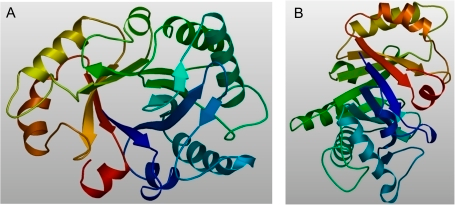 Calculated 3D structure of the endochitinase NrChit1 from Nepenthes rafflesiana. The structure was suggested by the SWISS-MODEL web server upon comparative modelling using an endochitinase sequence from Hevea brasiliensis (NCPI, CAA09110; Swiss Prot, P23472) as the homologous template structure. The modelled residue range is from amino acids 1 to 266. A and B represent different views of the modelled structure.