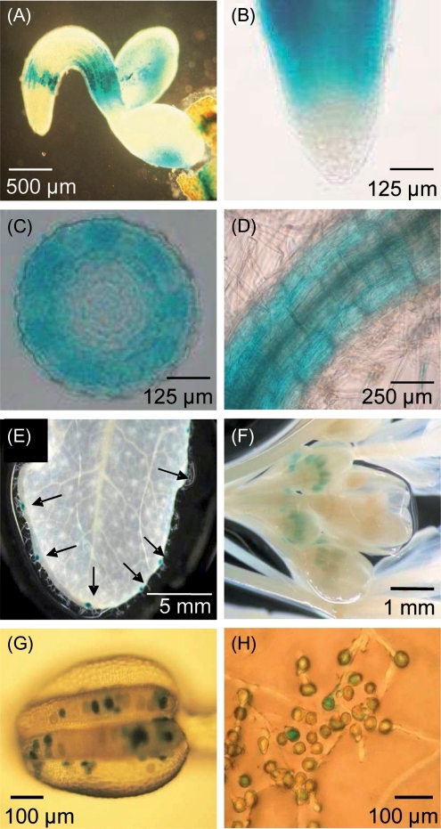 Expression analysis of ENT1 by the use of corresponding promoter�GUS lines. (A�C) Two-d-old seedlings. (A) Whole seedling, (B) root tip, (C) cross-section of root elongation zone, (D) 10-d-old seedling, root hair zone; (E) developed leaf, arrows showing stained hydathodes, (F) flower, (G) anther with pollen, (H) germinated pollen.