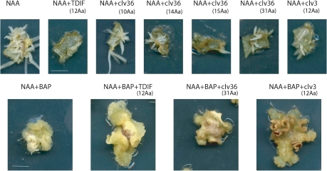 Effect of CLE peptides on in vitro callus and root formation in M. truncatula. Leaf explants from line 2HA were plated onto P4 medium containing 10 μM NAA with or without 4 μM BAP and with or without further addition of CLE peptides at 10 μM. All CLE36 derivatives inhibited root initiation and growth except the biologically inactive 10 amino acid derivative. In addition, TDIF and CLV3 also inhibited root initiation and growth from the explants. Callus formation was also inhibited by CLE36 and CLV3, but not TDIF. The identity of the peptides and length in parentheses are indicated. Scale bar=10 mm.