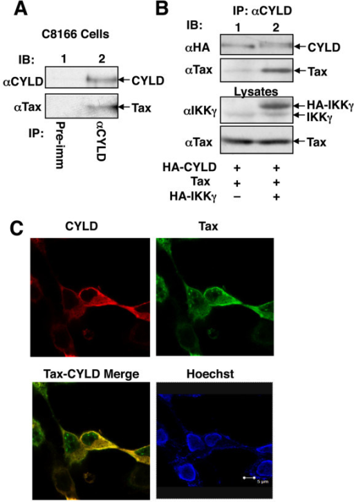 Physical interaction between Tax and CYLD. (A) Cell lysates were prepared from the HTLV1-transformed C8166 cell line and subjected to IP using either a control pre-immune serum or anti-CYLD. The precipitated CYLD and its associated Tax were analyzed by IB. (B) HEK293 cells were transfected with HA-CYLD and Tax either in the absence (-) or presence (+) of IKKγ. The cell lysates were subjected to IP using anti-CYLD followed by IB to detect the precipitated CYLD and its associated Tax (top two panels). The cell lysates were also subjected to direct IB to monitor the expression of IKKγ and Tax. (C) HEK293 cells were transfected with HA-CYLD and Tax. The cells were stained with anti-HA (Y-11) and a mouse monoclonal anti-Tax antibody, followed with Texas red-conjugated donkey anti-rabbit Ig and FITC-conjugated donkey anti-mouse Ig. Cells were also counterstained with Hoechst 33258 for nuclear visualization. The expression of CYLD, Tax, Tax-CYLD merge, and nucleus (Hoechst) are shown. Note that the cytoplasmic, but not nuclear, Tax was colocalized with CYLD (Tax-CYLD merge, yellow color).