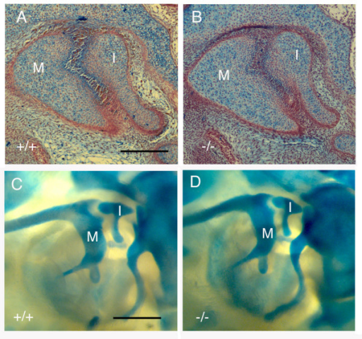 Joint formation appears normal at E17.5 in Apaf-1 mutants. (A) Trichrome stained section of incudomalleal joint at E17.5 in an Apaf-1 wildtype littermate. (B) Trichrome stained section of incudomalleal joint at E17.5 in an Apaf-1 homozygote mutant. (C) Skeletal preparation with alcian blue staining of Apaf-1 wildtype littermate. (D) Skeletal preparation with alcian blue staining of Apaf-1 homozygous mutant. No defect in shaping of the articulation is observed. M = malleus. I = Incus. Scale bar in (A) = 200 μm. Scale bar in (C) = 400 μm.