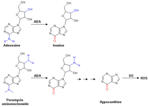 Structure of adenosine, PAN and metabolites. Blue and red lettering indicate the structural differences between adenosine and PAN, and the changes induced by ADA action respectively. ADA, adenosine deaminase; XO, xanthine oxidase; ROS, reactive oxygen species.