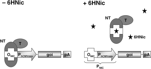 Schematic representation of key components of the 6HNic (6HNic)-responsive transgene regulation system (NICE). As a binary transcription-control system, NICE consists of an artificial 6HNic-dependent transactivator (NT), assembled by fusing the A.nicotinovorans pAO1 6HNic oxidase repressor HdnoR to functional mammalian transactivation domains (T; e.g. H.simplex VP16, p65 of human NF-κB, a domain of human E2F4) and a chimeric promoter engineered by placing HdnoR-specific operator modules (ONIC) adjacent to a minimal version of the human cytomegalovirus immediate early promoter (PhCMVmin). In the absence of 6HNic (�6HNic), NT binds to PNIC via direct HdnoR-ONIC interaction and induces PhCMVmin-mediated transcription of the gene of interest (goi). However, 6HNic modifies NT