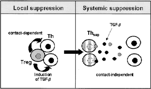 Model of T effector cell regulation. We propose the following model of immunoregulation by CD25+ Treg in vivo: resident or induced CD25+ Treg suppress the activation of conventional Th cells. This is a cell contact�dependent local inhibitory effect. The induced secondary T suppressor cells (Thsup) produce inhibitory mediators such as biologically active TGF-β which itself inhibits the activation of T effector cells. This secondary systemic suppressive effect is cell contact independent.
