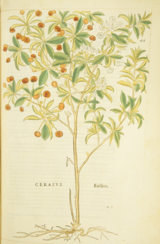 <p>Hand-colored woodcut of a cherry tree.</p>