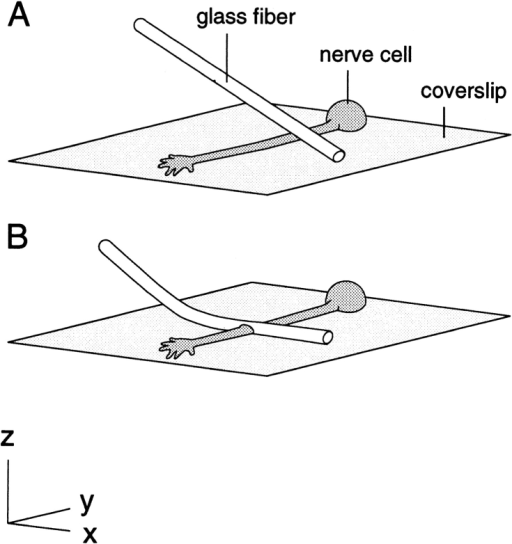 Method for constricting single axons in cell culture. A  fine flexible glass fiber is oriented perpendicular to the axon and  at a 45° angle to the horizontal with its tip touching the substrate  to one side of the intended constriction site (A). The fiber is then  advanced downward against the coverslip, causing it to bend and  flatten out across the axon (B).