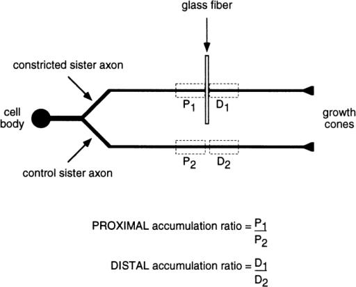Method of analysis of constricted and control sister axons. This schematic diagram depicts a cultured neuron with a bifurcating axon. One of the sister branches is constricted and the  other serves as a nonconstricted control. After constriction for a  certain period of time, the cell is fixed, neurofilament protein is  visualized by immunofluorescence microscopy, and then the fluorescence intensity is quantified along both axons using the segmented mask method (see Materials and Methods). The rectangles drawn with dashed lines demarcate the measurement  windows located proximal and distal to the constriction (P1 and  D1), and at corresponding distances along the nonconstricted sister axon (P2 and D2). The total fluorescence intensity in each  measurement window is a relative measure of the amount of neurofilament protein in that portion of the axon. To calculate the  proximal and distal accumulation ratios, the total fluorescence intensities in the proximal and distal measurement windows of the  constricted axon (P1 and D1, respectively) are divided by the total  fluorescence intensities in the corresponding measurement windows of the nonconstricted sister axon (P2 and D2, respectively),  i.e., P1/P2 and D1/D2. Thus, the proximal and distal accumulation  ratios are each a measure of the accumulation or depletion of  neurofilament protein in the constricted axon relative to its nonconstricted sister.