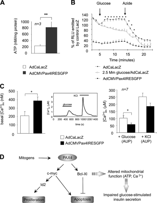 Total cellular ATP and mitochondrial calcium levels are increased in AdCMVPax4IRESGFP-infected islets. (A) Total cellular ATP levels were measured in islets overexpressing either β-galactosidase or PAX4 (2.4 × 107 pfu/ml, 50% of cell infected) and maintained in 1 mM glucose for 10 min. Results represent the means ± SEM. **, P < 0.01. (B) Cytosolic ATP production in response to 2.5 or 16.5 mM glucose was determined over a period of 20 min using the ATP-sensitive bioluminescence probe luciferase (3.6 × 107 pfu/ml). Glucose and azide were added at indicated times (arrows). Results are the mean ± SEM of at least five experiments performed in duplicates (*, P < 0.05). (C) Mitochondrial calcium was monitored in β-galactosidase or PAX4 overexpressing islets using β-cell–specific/mitochondrial-targeted aequorin as described in Materials and methods. After the establishment of baseline luminescence (30 min; LacZ = 210 ± 49 nM and Pax4 = 387 ± 46 nM, left), islets were superfused for 5 min in basal conditions (0 glucose) before stimulation with glucose (16.7 mM), and then KCl (60 mM) for 5 min intervals each, as shown (middle). The induced increases in [Ca2+]m were evaluated on the basis of the AUP and a presented on the right. Each value represents the mean ± SEM of a minimum of six separate experiments. *, P < 0.05. (D) Proposed model of Pax4-induced β-cell proliferation. Mitogens activate Pax4, which will stimulate c-myc and Bcl-xL gene transcription. c-Myc will promote Id2 gene expression and activate the cell cycle replication program. Bcl-xL increased expression will promote survival by preventing mitochondria from initiating the apoptotic program. However, cells become refractory to glucose-evoked insulin secretion due to altered ATP production and calcium handling.