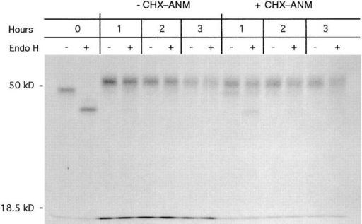 H2-Kd trafficking in CHX–ANM-treated J774 cells. J774  cells were pulse labeled in the presence of 5 μg/ml BFA to retain class I  molecules, and then chased in the presence of CHX (50 μg/ml) and  ANM (30 μg/ml). BFA was removed from the culture medium immediately after the pulse, and cells were either harvested immediately (0 h) or  chased 1, 2, or 3 h in medium with or without CHX and ANM. H2-Kd  molecules were immunoprecipitated, mock- or endo H–digested, and analyzed by SDS PAGE. Molecular weight markers are indicated on the left.