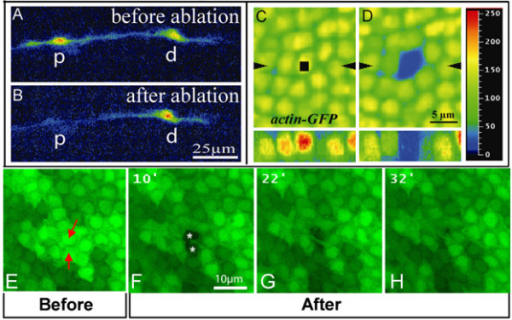 High resolution images of confocal assisted UV laser selective destruction. (a,b) Confocal images of repo::GFP expressing cells prior to (a) and after (b) selective destruction. (b) The proximal glial cell (p) has been targeted for selective destruction; the distal cell (d) was not targeted. (c,d) actin-GFP labeling in the fly wing epithelium prior to (c) and just after (d) UV irradiation. The region of interest defined by the 'Point bleach' function is indicated by the black square in (c). (d) Notice that, upon irradiation, GFP labeling is specifically absent in the targeted nucleus. Images to the bottom of (c,d) correspond to Z optical sections taken along the axis indicated by the black arrowheads. Color coding is used to quantify GFP labeling: blue (0) corresponds to background, red (250) to high levels. (e-h) actin-GFP labeling in the fly wing epithelium prior to (e) and 10 (f), 22 (g) or 32 minutes (h) after UV irradiation. The two targeted cells (indicated by red arrows in (e)) are absent 10 minutes after UV-mediated destruction (indicated by white asterisks in (f)). The space previously occupied by the targeted cells is subsequently occupied by the neighboring cells (g,h). See also Additional file 5. Scale bars: (a,b) 25 μm; (c,d) 5 μm; (e-h) 10 μm.