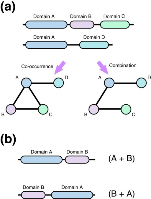 Domain combination. (a) Domain architectures in a protein set can be represented as a network. A domain corresponds to a node, and edges refer to the co-occurrence or combination of a domain in the protein set under consideration. In a domain co-occurrence network, two domains are connected by an edge if they co-occurred in the same protein sequence. Here, we considered a domain combination network in which two domains must be located consecutively. Domain B is located between domains A and C, and so nodes A and C are not connected. (b) Combinations (A + B) and (B + A) are distinguished in this work.