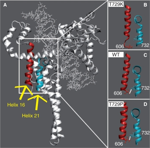 (A) Helix 16, in core domain, and helix 21, in the C-terminal domain, are highlighted in red and light blue colours, respectively. (B–D) Only the helices are shown in representative snapshots of the Tyr729Lys, wild-type and Tyr729Pro simulations, respectively. The side chains of Thr606 and Trp732, in helixes 16 and 17, respectively, are shown in ball and stick. Stable direct hydrogen bonds, when present, are indicated with a white line.