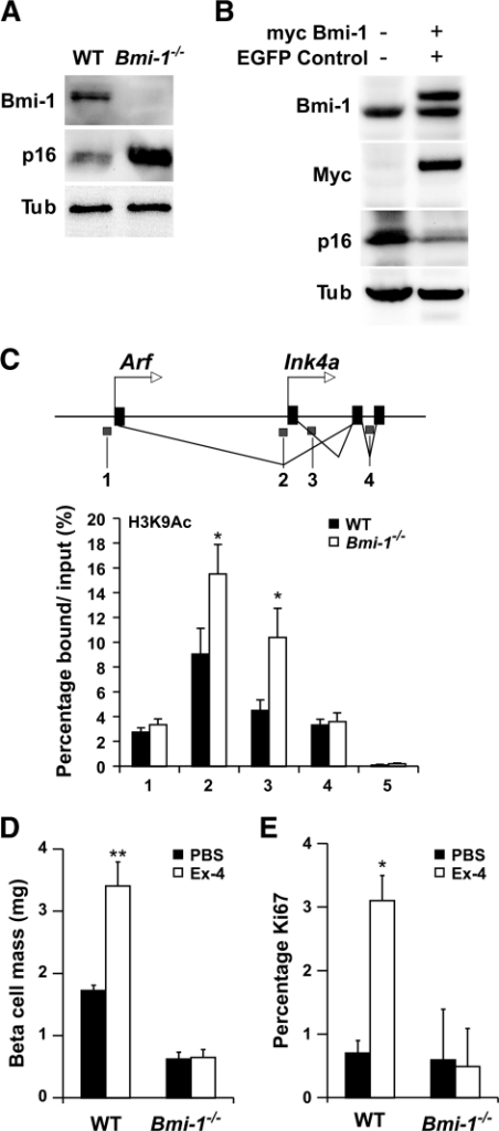 "β-Cell mass failed to expand in response to exendin-4 treatment in Bmi1−/− mice. A: Protein levels of Bmi1 and p16 in isolated islets from 6-week-old wild-type and Bmi1−/− mice. Data were representative of pooled islets from three experiments with 3–5 mice per group. B: Protein levels of Bmi1 and p16 in Min6 cells transfected with Bmi1 fused with an NH2-terminal myc tag. C: Schematic representation of the Ink4a/Arf locus, with blue regions, marked 1–4, indicating the amplified regions in the ChIP studies (top panel) and ChIP analysis for the indicated antibodies at the Ink4a/Arf locus in islets isolated from wild-type (WT) and Bmi1−/− mice (4 weeks old) (bottom panel). On the x-axis, ""5"" indicates binding for the negative control corresponding to exon 2 in the Hox C13 locus. P values were determined by unpaired Student's t test. D and E: Analysis of β-cell mass (D) and β-cell proliferation (E) of wild-type and Bmi1−/− mice after seven constitutive days' injection of exendin-4. Values are representative of 5–6 slides spanning the whole pancreas of each mouse and three mice per group. Error bars indicate ± SE. *P < 0.05; **P < 0.005. Tub, β-tubulin."