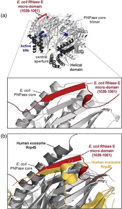 Interactions of RNase E micro-domain and PNPase core. (a) Interaction of the RNase E recognition micro-domain (residues 1021–1061, red) with the solvent-exposed strand of an antiparallel β-sheet of PNPase (grey). The β-sheet is part of the C-terminal RNase PH-like subdomain of PNPase. The view is at the interface of two PNPase protomers, and the perspective is from the S1/KH side of the PNPase ring (i.e., from the bottom of the ring shown in Fig. 2b). (b) Overlay of the E. coli PNPase structure (grey) with the Rrp45-Rrp46 in the human exosome (yellow for Rrp46 and black for Rrp 45) showing an interaction for the two exosome subunits that is structurally homologous to that of PNPase core to RNase E.26 The perspective is from the same orientation as represented in (a).