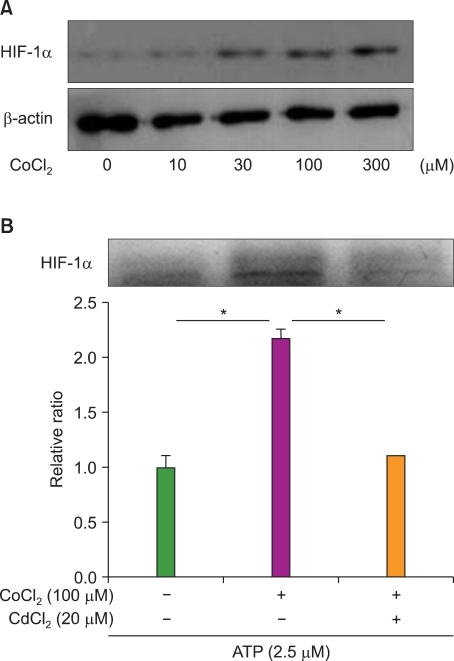 The expression of HIF-1α increases the resistance of HL-60 cells to ATO. (A) HL-60 cells were cultured in the presence of the indicated doses of CoCl2 for 24 hrs. Expression of HIF-1α was then analyzed by western blotting. A β-actin antibody was used as an internal control. (B) HL-60 cells were cultured in the presence or absence of CdCl2 and/or CoCl2 for 12 hrs and with ATO for additional 48 hrs. Cell viability was analyzed by the MTT assay. The relative viable cell number was calculated as the ratio of each OD to the control OD. Results are expressed as relative viability±SEM. Two asterisks (*) represents statistical significance when the P-value is lower than 0.01.