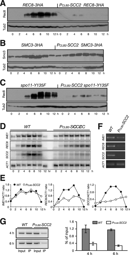 Scc2 is required for REC8 gene expression. (A) Rec8 protein level in wild-type (HY1503C) and PCLB2-SCC2 (HY1586) cells. Yeast cells were induced to undergo synchronous meiosis, then subjected to immunoblot as for Figure 2A. Rec8'3HA was detected by an anti-HA antibody (16B12). (B) Smc3 protein level during meiosis. Note that the levels of Smc3 remain normal in the absence of Scc2 in meiosis. SMC3-3HA, HY1750C; PCLB2-SCC2 SMC3-3HA, HY1750. (C) Rec8 protein level in spo11Δ cells during meiosis. Note that, in the double mutant PCLB2-SCC2 spo11Δ (HY1975), only residual Rec8-3HA was detected. (D) Northern blot showing the levels of IME1, REC8, SCC2, and ACT1 transcripts during meiosis. Wild-type (NH144) and PCLB2-SCC2 (HY1279) cells were induced to undergo synchronous meiosis; aliquots were withdrawn at indicated time points. Total RNA was extracted and prepared for Northern blots. Gene-specific probes sequentially probed the same blots. The level of ACT1 served as a loading control. (E) Quantification of Northern blots. The ratio of the gene of interest to ACT1 is shown. Wild type, filled circles; PCLB2-SCC2, open circles. (F) RT-PCR assay of transcripts. Aliquots were withdrawn 6 h after induction of meiosis. Total mRNA was extracted and reverse transcribed to cDNA. A semiquantitative PCR was used to amplify target cDNA with gene-specific primers. (G) ChIP of Pol II from WT (NH144) and PCLB2-SCC2 (HY1279) cells during meiosis. Yeast cells were induced to undergo synchronous meiosis, and ChIP was performed with an anti-Pol II CTD antibody (8WT16). Semiquantitative PCR was used to determine Pol II enrichment at the REC8 locus. Two representative time points are shown.