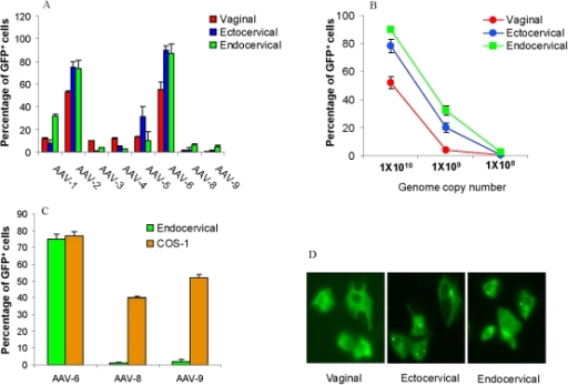 Transduction of human endocervical, ectocervical and vaginal epithelial cells by various AAV serotypes expressing GFP.(A) Expressions of GFP protein by transduced cells were detected by FACS and presented as percentages of GFP positive cells. Note that AAV-2 and AAV-6 yielded the highest transduction rates. (B) A dose dilution of AAV-6-GFP vector. (C) AAV-8-GFP and AAV-9-GFP transduction of COS-1 cells. (D) Visual assessment of AAV-6-GFP transduction by fluorescence microscopy of vaginal, ectocervical and endocervicel cell lines.