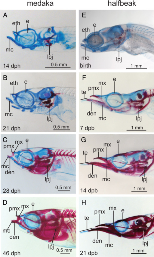 Comparative skeletal development of medaka, Oryzias latipes and halfbeak, Dermogenys pusilla. (A-H) lateral orientation, (A-D) O. latipes, (E-H) D. pusilla, stages are matched based on the relative timing of skeletal ossification. The upper and lower jaws of medaka maintain roughly similar proportions throughout development (A-D). At birth, the jaws of halfbeak resemble those of medaka (E), however they become elongated throughout development, whereby the lower jaw grows proportionally more than the upper jaw (F-H). Abbreviations: den = dentary, dpb = days post birth, dph = days post hatch, e = eye, eth = ethmoid, lpj = lower pharyngeal jaw, mc = Meckel's cartilage, mx = maxilla, pmx = premaxilla.