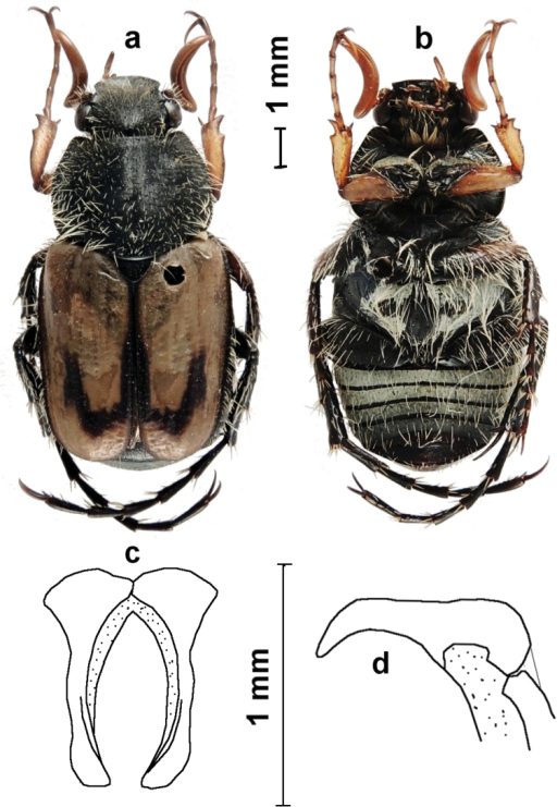 Eriopeltastes (Eriopeltastes) ornatus Ricchiardi, sp. n. Holotype ♂: a habitus in dorsal view b habitus in ventral view c parameres in frontal view d parameres in lateral view (Photo & drawing: Enrico Ricchiardi).