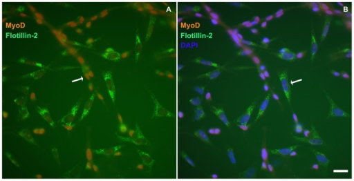 Flotillin-2 is mainly expressed in fibroblasts and weakly expressed in myoblasts.Myogenic cells were grown for 24(A and B). Cells were fixed with paraformaldehyde and stained with antibodies against MyoD (red, A and B) and flotillin-2 (green, A, and B) and with the nuclear dye DAPI (blue, B). Merged images are shown in A and B. Note that flotillin-2 is highly expressed in MyoD-negative cells and weakly expressed in MyoD-positive cells (A and B). Scale bar in B represents 20 µm.