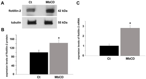 Cholesterol depletion enhances the expression of flotillin-2 protein and mRNA.Chick myogenic cells were grown 24(control, Ct). Cell culture extracts were analyzed in Western blot using an antibody against flotillin-2 (A). Lower Western blot shows α-tubulin reactivity of the same samples, and was used to normalize sample loading (A). Quantification of protein bands revealed a 40% increase in the levels of flotillin-2 expression after cholesterol depletion (B). RT-PCR analysis (for details, see Materials and Methods) of the expression of flotillin-2 in control and in MbCD-treated cells is shown in C. Glyceraldehyde-3-phosphate dehydrogenase (GAPDH) was used for normalization. Analysis of the expression of flotillin-2 shows a more than 2-fold increase in the levels of mRNA expression in MbCD-treated cells compared with control cells. *p<0.05; t test for unpaired samples, n = 3.