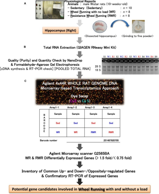 Workflow from sampling and grinding of the hippocampus, total RNA extraction, and DNA microarray analysis of the hippocampus. (A) The rats hippocampi were rapidly dissected and ground to a fine powder in liquid nitrogen and stored at –80°C. (B) Total RNA extraction from the finely powdered hippocampus. Total RNA quality was confirmed by both spectrophotometry and agarose‐gel electrophoresis. (C) DNA microarray chip showing the hybridized sample combinations (Sed × WR and Sed × RWR) and dye‐swap (Cy3 vs. Cy5).