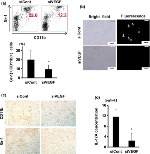 Vascular endothelial growth factor (VEGF) silencing in tumor significantly suppressed myeloid-derived suppressor cells (MDSC) and interleukin-17A (IL-17A) induction in the spleen. Tumor-bearing mice were given intratumor injections with nanogel alone or siRNA/nanogel complex as in Figure 5. Mice were killed on day 20. (a) Spleen cells were stained with FITC-anti-Gr1 and APC-CD11b antibodies followed by FACS analysis. Numbers in dot plots (upper) indicate proportions of Gr-1+ CD11b+ cells (blue rectangles), while means ± SD (n = at least 7/group) of Gr-1+ CD11b+ populations are plotted (lower). (b) Spleen cells were cultured with interferon (IFN)-γ and LPS, and nitric oxide (NO)-producing cells were visualized by DAF-2 DA. Arrows indicate NO high producer cells. Scale bar, 50 μm. (c) Immunohistochemical staining of the tumor sections with CD11b (upper) and anti-Gr-1 (lower) antibodies. Original magnification was 200×. (d) Spleen cells were cultured with conA, and 24 h later IL-17A concentrations in culture supernatant were measured by the Cytometric Bead Array assay. Data represent the means ± SD (n = 3). *P < 0.05.