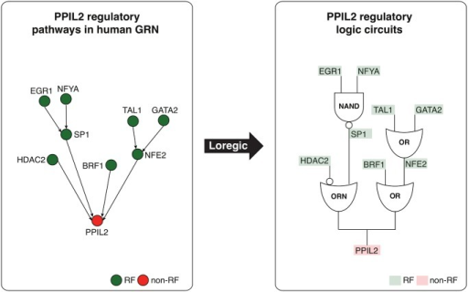 "Depiction of two logic circuit regulatory pathways targeting PPIL2.Two logic circuit regulatory pathways targeting the PPIL2 gene, an important cyclophilin member in immunological suppression, are found by Loregic: 1: PPIL2 is co-regulated by HDAC2 and SP1 forming the triplet of (RF1 is HDAC2, RF2 is SP1, T is PPIL2), which is consistent with the ""T = ~RF1+RF2"" gate (the ORN gate[22]), and SP1 is co-regulated by EGR1 and NFYA forming the triplet of (RF1 is EGR1, RF2 is NFYA, T is SP1), which is consistent with the ""T = ~RF1*~RF2 (the NAND gate); 2: PPIL2 is also co-regulated by BRF1 and NFE2 forming the triplet of (RF1 is BRF1, RF2 is NFE2, T is PPIL2), which is consistent with OR gate, and NFE2 is co-regulated by TAL1 and GATA2 forming the triplet of (RF1 is TAL1, RF2 is GATA2, T is NFE2), which is also consistent with OR gate. We replace the triplets on these pathways using matched logic gates, and depict the pathways using logic circuits to summarize the regulatory logics targeting PPIL2 at the pathway level."