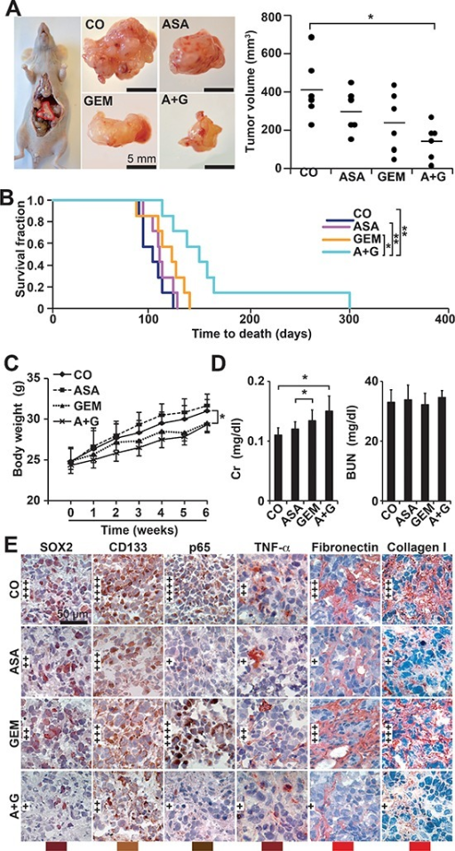 Aspirin inhibits tumor growth and progression of orthotopic mouse xenografts and enhances gemcitabine efficacy(A) A total of 1 × 106 PANC-1 cells in 10 μL of PBS were injected into the pancreatic head of immunodeficient mice (Day 0), 12 mice per group. Aspirin was injected daily i.p. starting on day 1 (ASA, 200 mg/kg). Gemcitabine was injected once per week, beginning on day 7 (GEM, 12.5 mg/kg). Six mice of each group were euthanized 6 weeks after transplantation, followed by macroscopic inspection of metastases, tumor resection and measurement of tumor volumes using calipers. Representative images of tumor xenografts for each group are shown on the left, and a diagram containing the volumes of individual tumors and the means of each group is shown on the right (*P < 0.05, **P < 0.01). (B) The 6 residual mice of each group were observed until the time to death. For calculation of the survival fraction, the number of mice per group was set to 1 at day 0. (C) The mice were weighed weekly throughout the experiment, and the changes in body weight are shown. (D) Heparinized blood from mice was collected at the end of the experiment, and the levels of plasma creatinine (Cr) and blood urea nitrogen (BUN) were measured using a DRY-CHEM FCD3500. (E) Xenograft tumor tissue was analyzed by immunohistochemistry as described in Figure 5C.