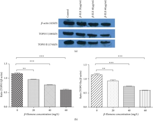 The effects of β-ELE (β-Elemene) on TOPO I and TOPO IIα protein expression in HepG-2 cells. (a) Western blot analysis showed that both the ratios of TOPO I/β-actin (0.960 ± 0.036, 0.759 ± 0.034, and 0.591 ± 0.049) and TOPO IIα/β-actin (0.937 ± 0.029, 0.752 ± 0.015, and 0.600 ± 0.017) were significantly decreased in a dose-dependent manner after β-ELE treatment (0, 20, 40, and 60 μg/mL, P < 0.05). (b) The ratios of TOPO I/β-actin (0.960 ± 0.036, 0.759 ± 0.034, and 0.591 ± 0.049) were significantly lower than that of the control group (1.161 ± 0.043); and the ratios of TOPO IIα/β-actin (0.937 ± 0.029, 0.752 ± 0.015, and 0.600 ± 0.017) were significantly lower than that of the control group (1.134 ± 0.045) (∗∗P < 0.005, ∗∗∗P < 0.001). These results suggest that the expression of the TOPO I and TOPO IIα proteins significantly decreased in a dose-dependent manner after β-ELE treatment.