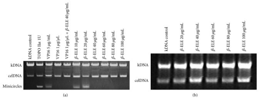 TOPO IIα catalytic activity inhibited by β-ELE. (a) The effect of β-ELE (β-Elemene) on the decatenation of TOPO IIα-mediated kDNA. As shown in (a), lane 1 is kDNA and served as a control group; lane 2 is the free DNA minicircles that were produced by the decatenation of TOPO IIα, in this case, without β-ELE. Lanes 3 and 4 are the positive control groups. VP16 (a typical inhibitor of TOPO IIα) at a concentration of 5 μg/mL had no inhibitory effect on the DNA decatenation activity of TOPO IIα, whereas DNA minicircles disappeared at a concentration of 1 μg/μL, which suggests that VP16 inhibits the catalytic activity of TOPO IIα. Lane 5 shows the effect of 1 μg/μL VP16 with 40 μg/mL β-ELE on the decatenation of TOPO IIα-mediated kDNA. As shown in the figure, the activity of TOPO IIα was inhibited. Lanes 6 to 11 show the effects of different concentrations (40, 60, 80, and 100 μg/mL) of β-ELE on the decatenation of TOPO IIα-mediated kDNA. (b) β-ELE (β-Elemene) has no direct effect on kDNA. As shown in (b), DNA minicircles, which form after DNA double-strand breakage, did not appear in the figure, suggesting that β-ELE has no direct effect on DNA.