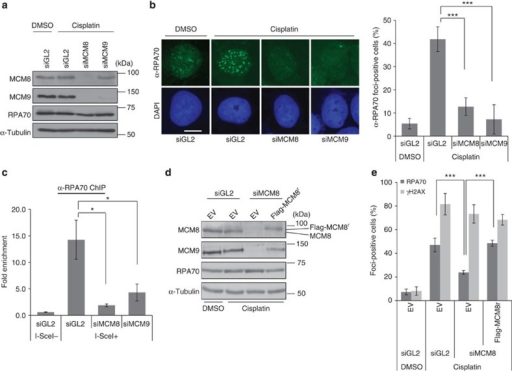 MCM8-9 is required for RPA binding to DSB sites.(a) Immunoblots of lysates from U2OS cells transfected with indicated siRNAs, 4 h after addition of cisplatin. (b) Decrease of RPA70 foci on depletion of MCM8 or MCM9. RPA70 immunofluorescence images shown at left and cells having over 20 foci of RPA70 were counted as positive cells on the right. Scale bar, 10 μm. ***P<0.005; Student's t-test. (c) ChIP assay in HeLa DR13-9 cells. Fold signal of RPA70 at I-SceI cut site relative to control site 2 kb upstream of cut site in cell treated with indicated siRNAs. *P<0.05; Student's t-test. (d) Immunoblot of U2OS cells stably transfected with empty vector (EV) or plasmid expressing siMCM8 resistant, Flag-MCM8r, 48 h after transfection of siRNAs. (e) Restoration of RPA foci formation by siMCM8-resistant Flag-MCM8. Quantification of RPA70 or γH2AX foci-positive cells as in Fig. 1b. ***P<0.005; Student's t-test. All error bars represent s.d. of the mean from triplicates. DAPI, 4′,6′-diamidino-2-phenylindole.