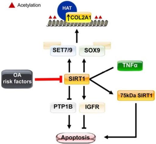Epigenetic regulation of chondrocyte anabolism and apop