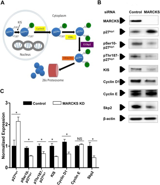 MARCKS knockdown decreases p27kip1, pSer10-p27kip1, KIS, cyclin D1, and ubiquitin ligase E3 Skp2, but does not affect cyclin E1 protein expression.A. The cyclin-dependent kinase inhibitor p27kip1 protein expression is regulated in a multistep process by degradation by the 26s proteasome. B. Human coronary artery smooth muscle cells (CASMCs) were treated with MARCKS siRNA or non-targeting siRNA (Control). Protein expression was determined by Western Blot analysis. C. Protein expression was normalized to β-actin and compared with densitometry. Expression of pSer10-p27kip1, pThr187-p27kip1, KIS, cyclin D1, and the E3 ubiquitin protein ligase all decreased significantly with MARCKS knockdown. Only Cylcin E did not change significantly as a result of MARCKS knockdown. KIS and pSer10-p27kip1 had the greatest decrease in protein expression as a result of MARCKS knockdown. All experiments were performed in triplicate. Statistical significance was determined by the two-tailed Student's t-test. * denotes p<0.05.