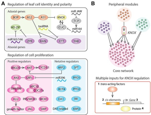 Gene regulatory networks of leaf development. (A) Regulators of leaf structural identification and leaf cell proliferation in Arabidopsis thaliana. Arrows, T bars, and lines indicate positive regulation, negative regulation, and protein-protein interactions, respectively. (B) Schematic diagram representing the gene regulatory networks controlling tomato leaf development, which consists of several peripheral gene network modules and a core network having highly interconnected genes. KNOX appears as a bottleneck in the network, suggesting that KNOX was an evolutionary hot spot that was repeatedly recruited for generating natural variation in leaf shape. KNOX regulation occurs at multiple levels including (1) modulation of trans-acting factors regulating KNOX (Ichihashi et al., 2014), (2) promoter changes at KNOX (Piazza et al., 2010), (3) changes in KNOX expression patterns (Bharathan et al., 2002), and (4) changes in effective KNOX protein concentration (Kimura et al., 2008).