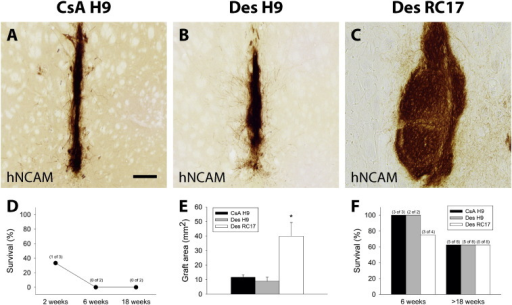 H9 hESC-derived cells desensitise the host to other hESC lines.Graft survival of (A) CsA immune-suppressed (CsA H9; n = 8 + 3), (B) identical (Des H9; n = 8 + 2, H9 to H9-desensitised) and (C) different (Des RC17; n = 8 + 4, RC17 to H9-desensitised) hESC donor – host combinations. (E) A subset of animals was sacrificed after 6 weeks. The percentage of survival was similar in all groups 18 weeks post-transplantation (E, n = 8 per group). Graft sizes were different between the three groups, with RC17 transplants being significantly larger, whilst the graft areas were similar for H9 grafts in CsA or desensitised hosts. Grafts of H9 hESC origin into naïve animals were readily rejected within 6 weeks post transplantation (D; see also Fig. 3). Scalebar = 100 μM. All data in E are presented as mean ± SEM.