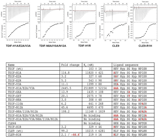 ITC measurements between wtTDR and TDIF mutants, CLE46, CLE9, and CLE9-R1H peptides.Representative ITC measurements between wild-type ecdTDR protein and TDIF-H1A/E2A/V3A, TDIF-N8A/I10A/N12A, TDIF-H1R, CLE9, and CLE9-R1H peptides are shown on the top panel; significant differences (greater than 2.5 fold) in the binding energy (dissociation constant Kd) between the wild type TDIF peptide and the mutants are summarized in the table below. In parallel, the calculated fold changes in Kd between wild type TDIF peptide and TDIF mutants along with CLE9 peptides are shown in a separate column. In comparison with wild type CLE9 and and CLE9-R1H mutant an additional fold change was found and is shown is red with a *. The sequence of each peptide is shown in the table, with the substituted resides colored in red.