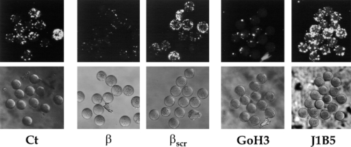 Effects of fertilin β  peptide analogues and anti-α6  antibodies on binding of fertilin-coated beads to zona-free  eggs. Eggs in TE were either  untreated (Ct) or preincubated  with 250 μM freshly dissolved  peptide analogue (14 residues)  corresponding to either the  predicted binding domain of  fertilin β (β) or a scrambled  fertilin β peptide (βscr). In  other samples, eggs were preincubated with 100 μg/ml of  either a function-blocking  (GoH3) or a non–function-blocking (J1B5) anti-α6 mAb. Eggs were assayed for binding of fertilin-coated beads as described in the legend to Fig. 5. Paired fluorescence and phase-contrast images from a representative experiment are shown.
