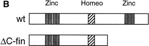 ΔC-fin δEF1 mutant allele generated by homologous recombination.  (A) The last  three exons (6–8) of the mouse δEF1 gene encoding the homeodomain and the C-proximal zinc  finger cluster are shown (top) together with the targeting vector (middle) and the resulting genomic structure of the homologous recombinant (bottom). Stop codons and the neor cassette are  inserted in the middle of the 6th exon, downstream of the homeodomain in the targeting vector. A DT-A cassette (11) was added at the 3′ end of the vector for negative selection against  random insertion of the vector. neor, neomycin resistance gene cassette; DT-A, the Diphtheria  toxin A chain expression cassette. The diagnostic BglII fragments detected in Southern blots using the probe (indicated by the thick bar) are shown. Restriction sites of SalI, ApaI, and Sau3AI  in the genomic DNA used for the targeting vector construction are also shown (see Materials  and Methods). (B) Proteins coded by wild-type allele (wt) and the mutated (ΔC-fin) allele are  schematically shown. (C) DNAs isolated from wild-type mice (+/+), a recombinant ES clone  (A84), and mice heterozygous (+/−) or homozygous (−/−) for the mutant δEF1 gene were  digested with BglII and subjected to Southern blot analysis using the indicated probe. (D) Total  RNAs (5 μg each) from wild-type (+/+), heterozygous (+/−), and homozygous (−/−) embryos (12.5 d.p.c.) were analyzed by Northern blotting using a mouse δEF1 cDNA (clone  M12) as probe. Only the larger size mRNA (δEF1+neor) resulting from the insertion of neor  was detected in a homozygous embryo, while only the normal size of δEF1 mRNA was present  in a wild type, and both were in a heterozygous embryo. (E) Nuclear extracts from wild-type  (+/+), heterozygous (+/−) and homozygous (−/−) 12.5 d.p.c. embryos were immunoprecipitated and analyzed by Western blotting for δEF1 and \xc6 C-fin protein using anti-δEF1 antiserum which can react to N-proximal portion of δEF1 (see Materials and Methods). As size references, the nuclear extracts from the COS cells transfected with expression vectors of wild-type  (wt/COS) and ΔC-fin δEF1 protein (ΔC-fin/COS) were also electrophoresed in parallel.